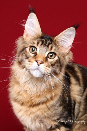 Maine Coon cattery LIONHEART alumni