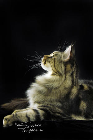 R Diamond R Maine Coons Candy is a very loving cat